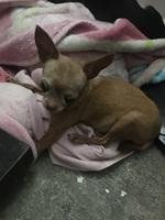 Sangre en las heces en perros, Chihuahueño