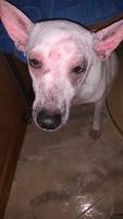 Erupciones en la piel en perros, Desconocida