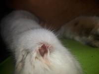 Tomi, mi gato europeo de pelo corto macho, tiene cojera y heridas que no curan o cicatrizan