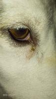 Lagrimeo verdoso o amarillento en perros, Husky siberiano
