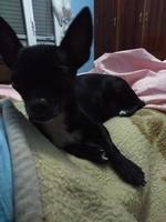 Babeo excesivo o espuma blanca por la boca en perros, Chihuahueño