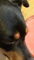 Bulto en la piel en perros, Ratonero bodeguero andaluz