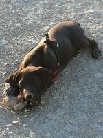 Come cosas no alimenticias (Plásticos, calcetines etc.) en perros, Braco alemán de pelo corto