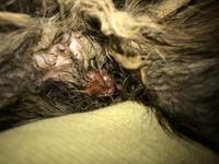 Pérdida de peso o adelgazamiento en gatos, Persa tradicional