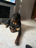Come cosas no alimenticias (Plásticos, calcetines etc.) en perros, Rottweiler