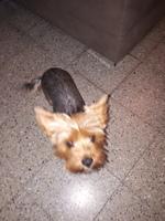 Pérdida de peso o adelgazamiento en perros, Yorkshire terrier