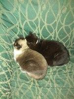Vómito en gatos, Común europeo