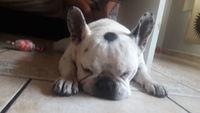 Pitingo, mi perro bulldog francés macho, tiene bulto en la piel