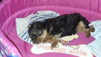 Desánimo, decaído, triste, depresión en perros, Yorkshire terrier
