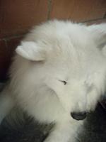 Inclina la cabeza en perros, Samoyedo