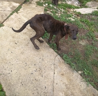 Pérdida de peso o adelgazamiento en perros, Pit bull