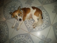 Flemas en perros, Spaniel francés