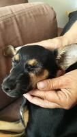 Ojos entrecerrados en perros, Pinscher miniatura