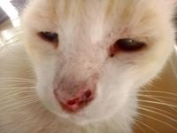 Desánimo, decaído, triste, depresión en gatos, Siamés