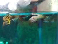Tengo una duda sobre Burbuja, mi pez guppy hembra