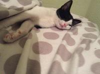 Sauron, mi gato siamés macho, tiene vómito, vómito amarillo y babeo excesivo o espuma blanca por la boca
