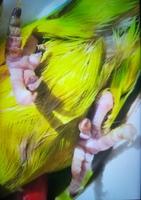 Temblores en aves, Agapornis roseicollis