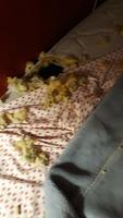 Yakito, mi perro labrador macho, tiene vómito, flemas y diarrea amarilla