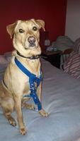 Flemas en perros, Labrador