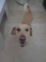 Baco, mi perro cruce macho, tiene hocico hinchado