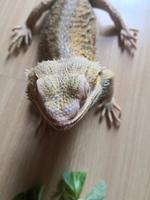 Tengo una duda sobre Pincho, mi reptil gecko macho