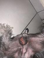Picor y rascarse en perros, Schnauzer miniatura