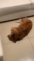 Curvamiento espalda en perros, Desconocida