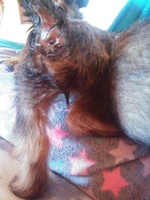 Estreñimiento en perros, Yorkshire terrier