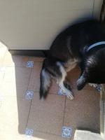 Dificultad al caminar o levantarse en perros, Husky siberiano