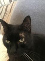 Falta de pelo alrededor de los ojos en gatos, Común europeo