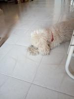 Apatía en perros, Caniche