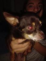 Hocico hinchado en perros, Chihuahueño