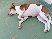 Desánimo, decaído, triste, depresión en perros, Ratonero bodeguero andaluz
