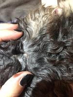 Erupciones en la piel en perros, Shih Tzu