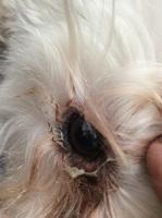 Ojos entrecerrados en perros, Schnauzer miniatura