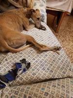 Vómito en perros, Galgo español