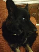 Desorientación en perros, Husky siberiano