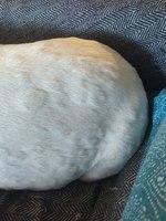 Tiene marcas o picor en la piel en perros, Staffordshire bull terrier