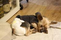 Debilidad en perros, Yorkshire terrier