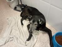 Pérdida de peso o adelgazamiento en perros, Labrador