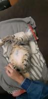 Pérdida de peso o adelgazamiento en gatos, Europeo de pelo corto