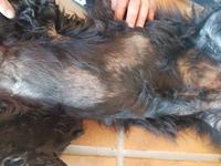Picor y rascarse en perros, Perro de agua español