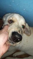 Orina más oscuro en perros, Labrador