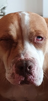 Mal apetito en perros, Pit bull