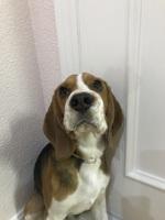 Hocico hinchado en perros, Beagle