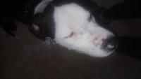 Lagrimeo verdoso o amarillento en perros, Terrier americano sin pelo