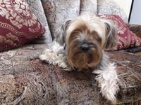 Vómito en perros, Yorkshire terrier