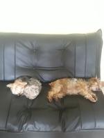 Apatía en perros, Yorkshire terrier