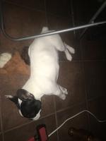 Mal aliento en perros, Bulldog francés