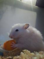 Tengo una duda sobre Speedy, mi roedor hámster hembra